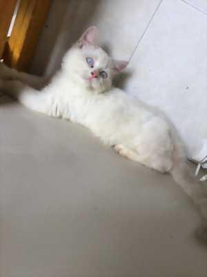 Cần tìm chủ cho một bé mèo Anh lai