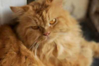 Bán mèo Anh lông vàng thuần chủng