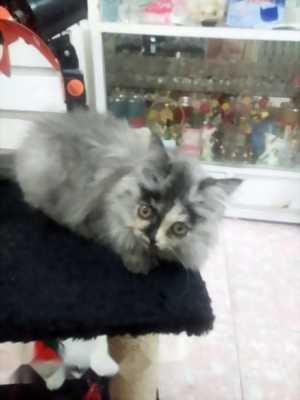 Cần bán mèo ALD tai cụp và 34 xám khói