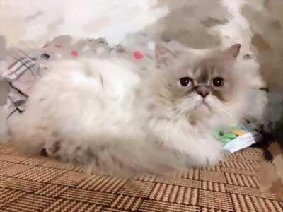 Mèo 34 và các giống mèo Anh lông dài