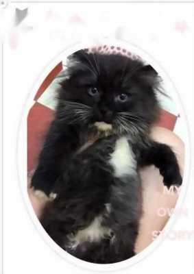 Mình cần bán mèo cái ALD x 34 lông xù