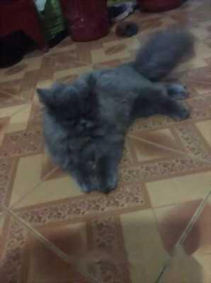 Bán nhanh mèo ALD 4th tuổi