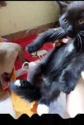 Bán bé mèo Anh lông dài và lông ngắn