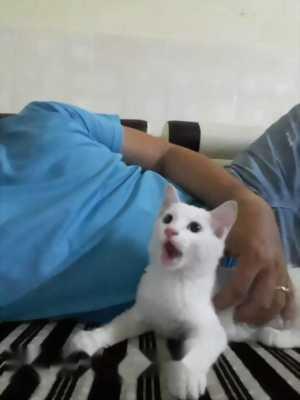 Cần bán con mèo cái ALD 2, năm tháng tuổi,  trắng