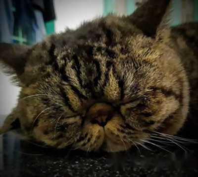 Bán mèo con lai Exotic và ALD 1, 5 tháng