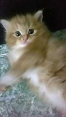 Bán nhanh bé mèo Anh lông dài