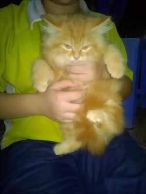 Bán mèo ALD đực,  2 tháng