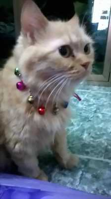 Cần bán mèo Anh lông xù giá rẻ