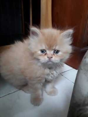 Cần bán mèo Anh lai Ba Tư lông dài giá rẻ