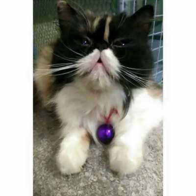 Bán mèo Anh lông dài đực