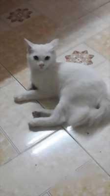 Bán mèo ALD 2, năm tháng tuổi,  trắng