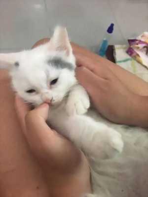 Bán mèo Anh lông dài,  ngắn (bò sữa)