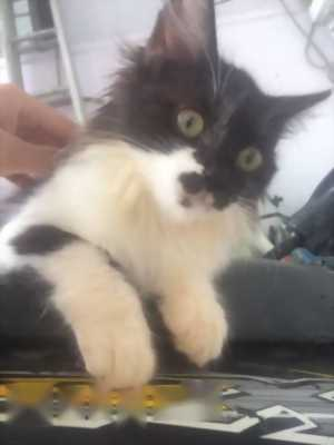 Cần bán bé mèo ALD