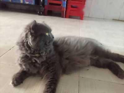 Tìm chủ mới cho bé mèo Anh