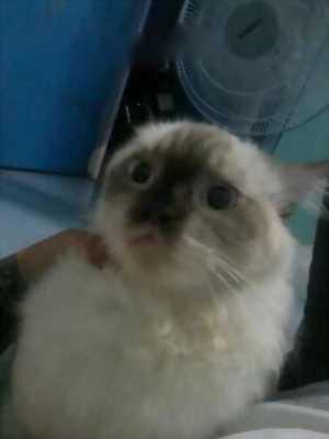 Mèo Anh Lông Dài 4th tuổi