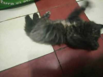 Mèo ALD lai Persian