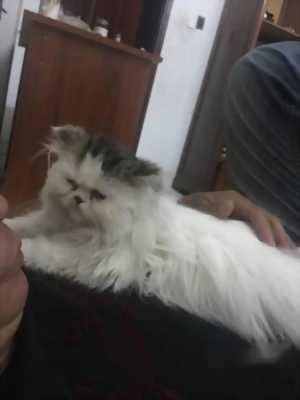 Cần bán con mèo Anh lông dài
