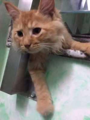 Cần bán mèo Anh lông dài thuần chủng