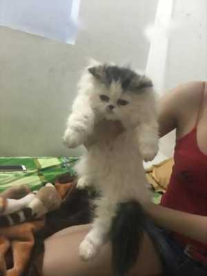 Mèo ald thuần chủng