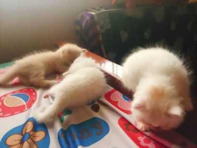 Cần bán 3 bé mèo Anh lông dài