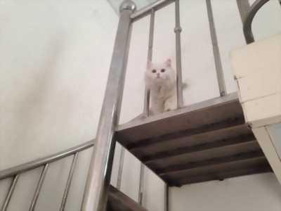 Bán mèo Anh lông dài cái tơ