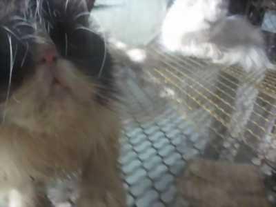 Cần bán bé mèo