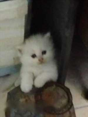 Cần bán 2 bé mèo ALD cái,  được 1 tháng 15 ngày tuổi
