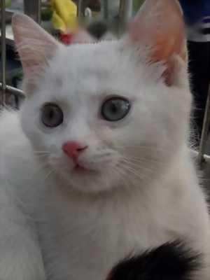 Mèo ALD Đực 4th Chủ Mới