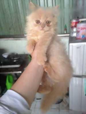 Bán bầy mèo ALD giá rẻ nhé