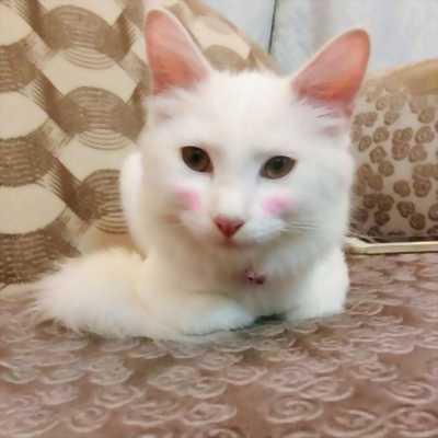 Bán mèo Anh lông dài tám tháng tuổi