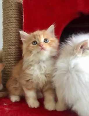 Bán mèo Anh lông dài