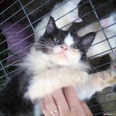 Sale mèo ALD lai Ba Tư giá rẻ