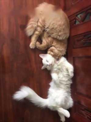 Bán nhanh mèo ALD