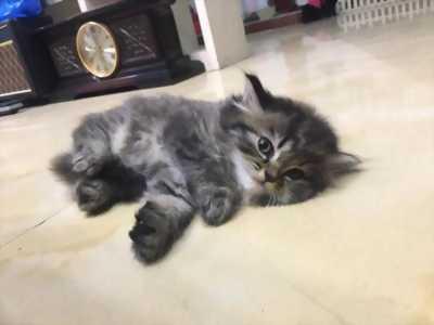 Tìm chủ cho hai bé mèo Birtish Longhair thuần . . .