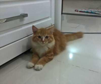 Cần bán bé mèo ALD cái