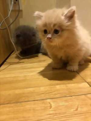 Bán mèo ALN và ALD cute
