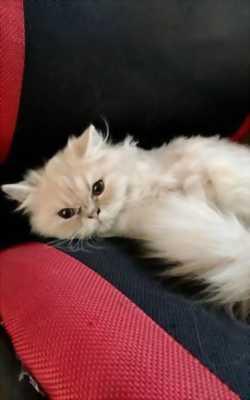 Bán mèo Anh lông dài và mèo Ba Tư