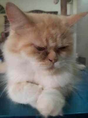 Bán mèo ALD x34 1, 5 tuổi cái