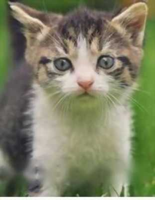 Bán mèo Ald lai Nga