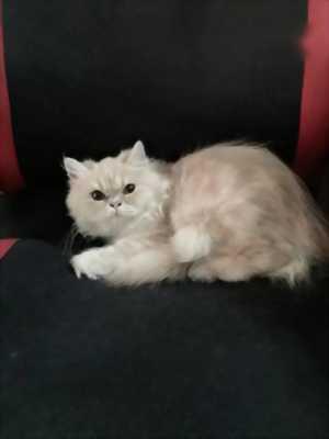 Cần bán bé mèo Anh lông dài