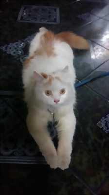 Bán mèo Anh lông dài đực tám tháng tuổi