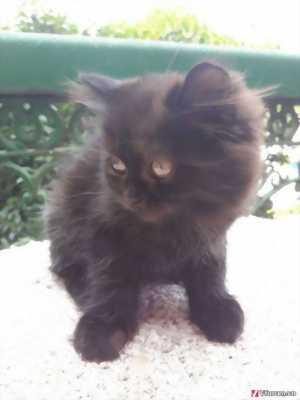 Cần bán bé mèo ALDx34