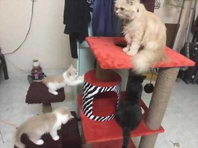 Bán đàn mèo ALD lai Ba Tư bé gồm ba cái,  2 đực