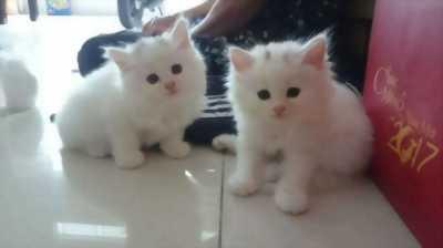 Tìm chủ cho hai e mèo ALD