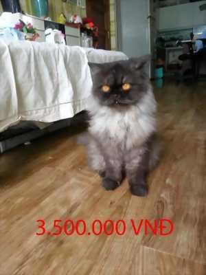 Cần bán mèo