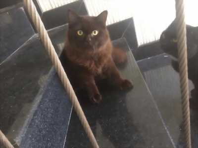 Cần bán bé mèo đen ALD lai