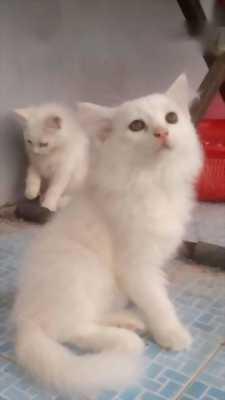 Bán bé mèo đực Anh lai Nga,  lông dài