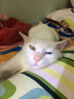 Bán mèo Anh lông dài 2 màu mắt