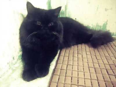 HCM- Quận 5- cần bán một mèo ALD đen huyền cực cute