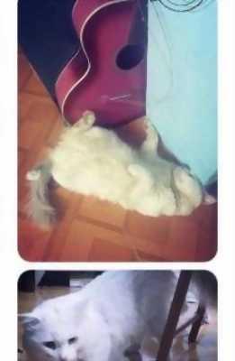 Tìm chủ mới cho mèo Anh lông dài